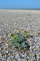 Thriving [Cayeux-Sur-Mer - 20 August 2016]