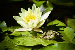 Grenouille et nénuphar - Photo of Chauffry
