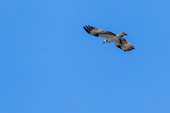 Close-up of a falcon with a ring on his foot while he flies and glides in the blue sky