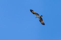 Nahaufnahme eines Falken mit Ring am Fuß, während er am Himmel fliegt und gleitet