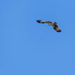 Flying Falcon over Lake Päijänne, in the clear blue sky