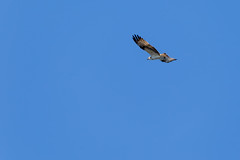 A falcon flies with its wings spread out in the blue sky of Finland