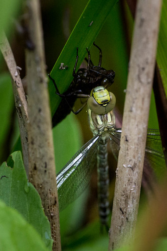 Newborn Southern Hawker with Exuvie