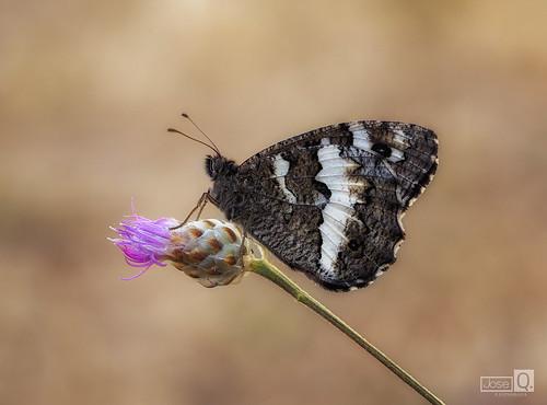 Mariposa Negra 2