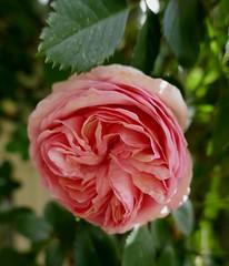 Au jardin, rose