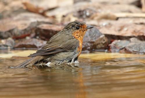 Pisco de peito ruivo // Erithacus rubecula // European robin