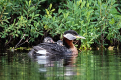 Image by spwasilla (spwasilla) and image name Red-necked Grebes photo