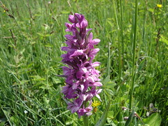 Orchis bouffon (Orchis morio).
