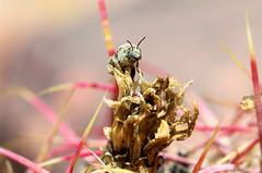 Diadasia chimney bee 2