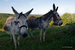 Nikon D 750 The donkeys of the Domaine des Compouzines - Photo of Coly