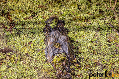Baby Alligator in the swamp at Lettuce Lake Park in Tampa Florida