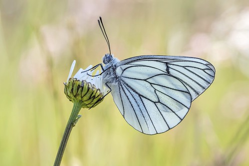 *Black-Veined White* - *Baum-Weißling*