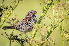 Song Sparrow enjoying an aphid feast