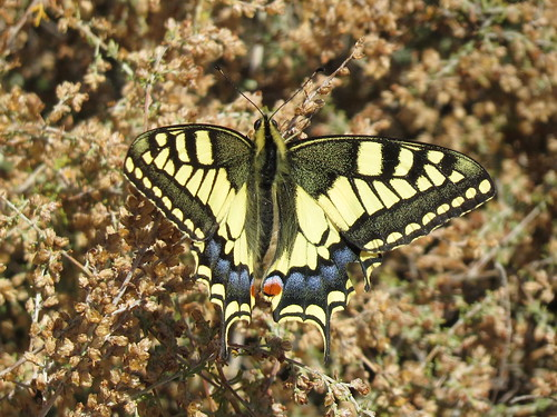 Papilio machaon (Swallowtail)