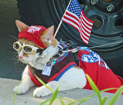 Thor, Cool Cat Patriot, 4th of July, 2012