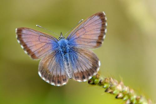 African Grass Blue