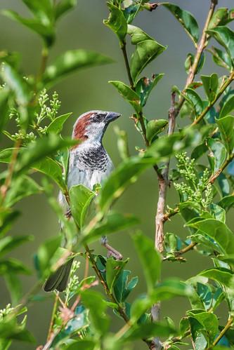 Haussperling - House Sparrow - Passer domesticus - 3