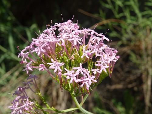 Centranthus lecoqii Jord. 1852 (VALERINACEAE).