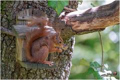 Ecureuil du jardin