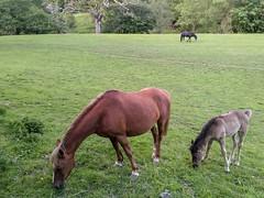 Horses at Betws-y-Coed