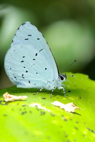Holly blue  (Boomblauwtje)