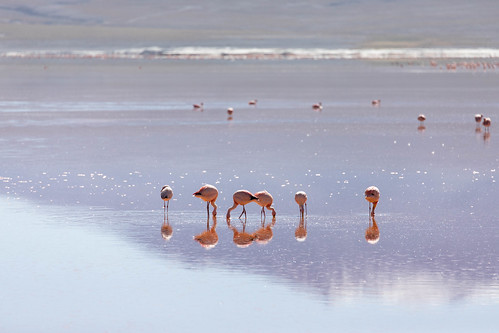 The Flamingoes
