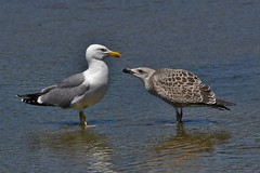 Goélands leucophées - Larus michahellis - Yellow-legged gulls - Photo of Ramonville-Saint-Agne
