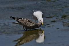 Goélands leucophées - Larus michahellis - Yellow-legged gulls - Photo of L'Union