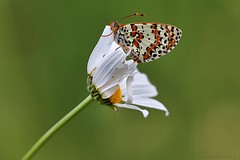 Melitaea cinxia - Mélitée du plantain dans le vent - Glanville fritillary in the wind - Photo of Viazac