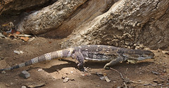 Rock monitor, Varanus albigularis, also called commonly the white-throated monitor or leguaan.