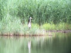 Gray Heron - Photo of Sannerville