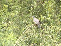Common Wood Pigeon - Photo of Saonnet