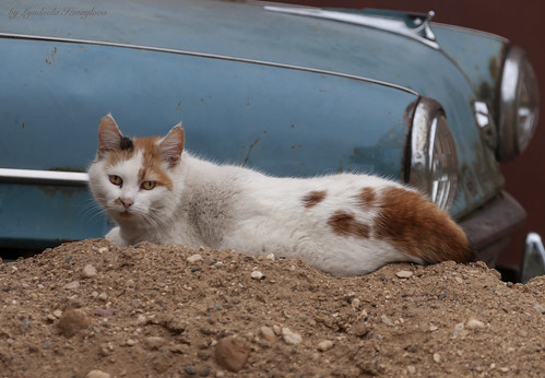 cat and old car