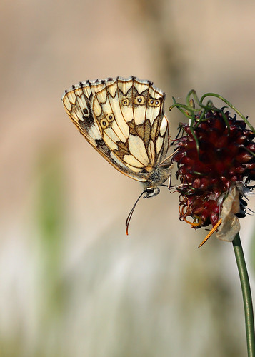 Marbled White on Crow Garlic! [Explored!]