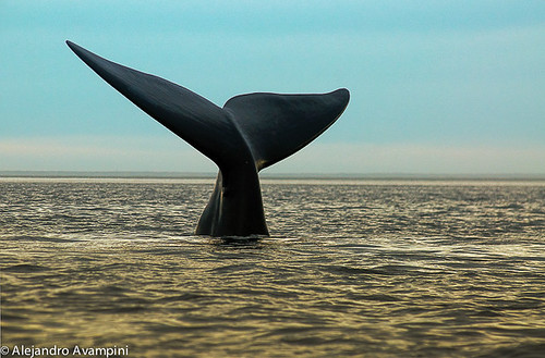 whale tail in Peninsula Valdes