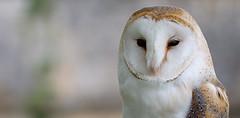 Barn owl - Schleiereule - Photo of Saint-Genès-de-Blaye