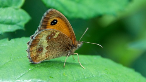 Hedge brown.  (Oranje zandoogje)