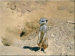 Zoo Frankfurt - Erdmännchen (meerkats)