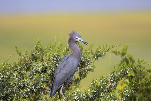 Portrait of a Little Blue Heron