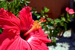 Radiant Hibiscus At Florida Home - IMRAN™