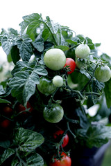 Organic Home Growing Cherry Tomatoes