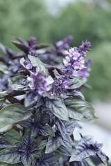 Thriving Purple Basil growing