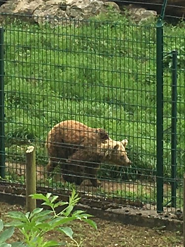 One of two bears at the conservation center unfortunately unable to adapt to the nature, pacing unhappily in its enclosure, Senda del Oso, Asturias