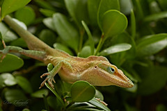 Anole male