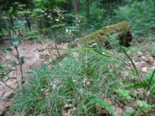 White Wood-rush (Luzula luzuloides)