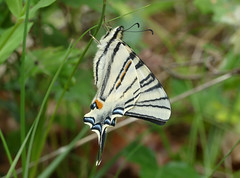 Scarce Swallowtail (Iphiclides podalirius) - Photo of Pressignac-Vicq