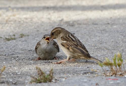 Gorriones,  dando de comer al novato _MG_4553