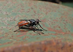 Cylindromyia bicolor - 28/06/19 - Photo of Soucirac