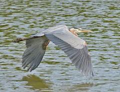 Great Blue Heron 2019-102