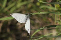 Pieris brassicae-male